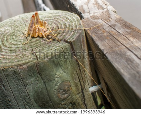 Camel or Gopher Crickets (Ceuthophilus latibuli and C. walkeri) are large brown crickets that are often found in gopher tortoise burrows, on top of wood fence post, rare species