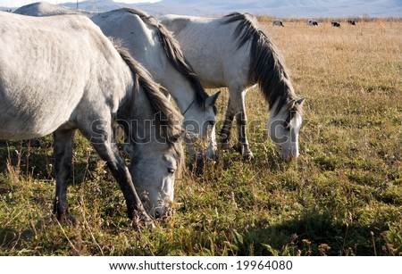beautiful three light horse grazes on meadow by autumn #19964080