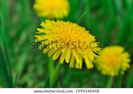 Bright yellow dandelions beautiful close-up, blooming dandelion, dandelion field