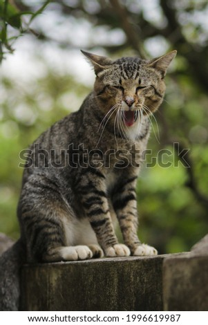 Funny yawning cat sitting on the wall with weird expression. Cat stock photo.
