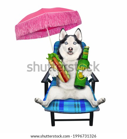 A dog husky on a beach chair is drinking beer with a hot dog under a pink umbrella. White background. Isolated.