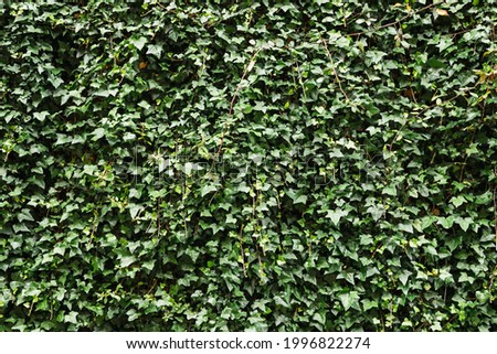 Ivy texture climbing plant. Hedera, evergreen, woody and climbing plant Royalty-Free Stock Photo #1996822274