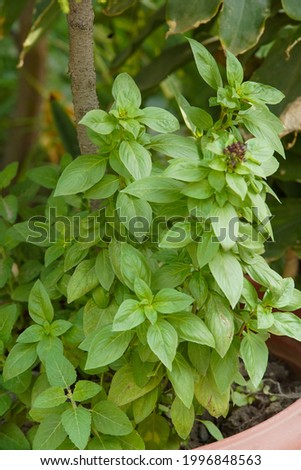 Basil is a flavorful, leafy green herb that originated in Asia and Africa.It's a member of the mint family, and many different varieties exist. this picture is clicked on 25 june 2021.