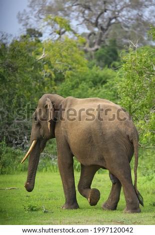 in search of srilanka vanishing tusker. Royalty-Free Stock Photo #1997120042
