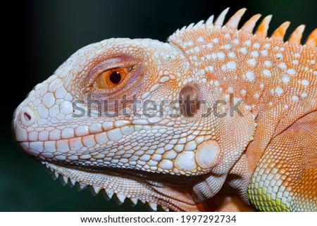 Baby super red iguana closeup on branch with natural background, super red iguana closeup, reptil closeup Royalty-Free Stock Photo #1997292734