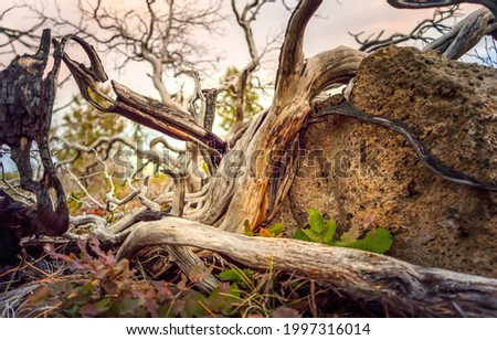 Dry snag. The trunk of a dry dead tree. Dry snag close up. Dry snag view Royalty-Free Stock Photo #1997316014