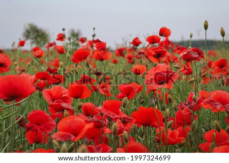 Field of Red Poppy in Nature. Papaver Rhoeas also knows as Common Poppy or Corn Rose is an Annual Herbaceous species of Flowering Plant in the Poppy family Papaveraceae.