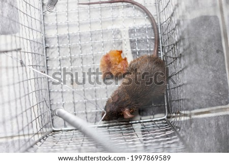 Top view of a rat in the trap metal case equipment of house to the protection of cleaning for people who live, copy space Royalty-Free Stock Photo #1997869589