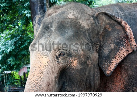 Picture with close up to face of old elephant