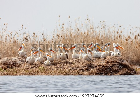 The flock of large Dalmatian pelicans wildlife nesting in the delta of the Volga River, near the Caspian Sea, Astrakhan, Russia.  Royalty-Free Stock Photo #1997974655