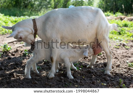 A little goat drinks goat's milk from mom. Feeding small ruminants. White goats. Royalty-Free Stock Photo #1998044867