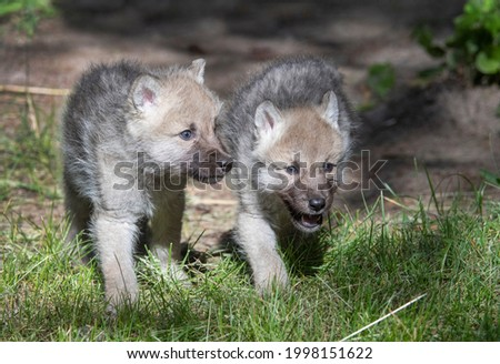 Wolf Pups coming out of the den Royalty-Free Stock Photo #1998151622