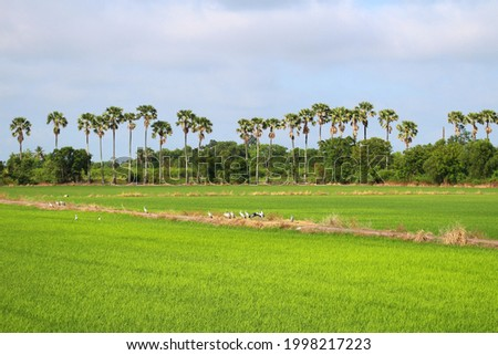 Green fields with birds on the fields and sugar palm trees lined op in rows It's a very beautiful picture of nature