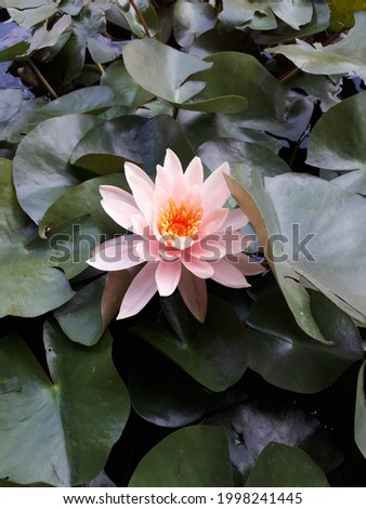 Picture of a pink lotus blooming in a lotus basin.