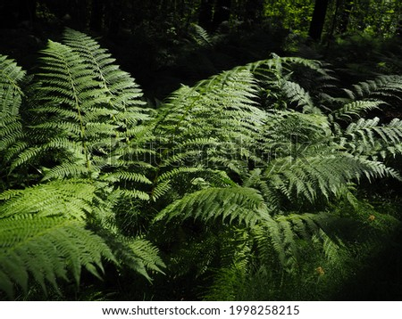 Fern-shaped plant in the forest. Beautiful graceful green leaves. Polypodiphyta, a department of vascular plants that includes modern ferns and ancient higher plants. Royalty-Free Stock Photo #1998258215