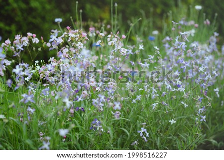 Small summer flowers scent in evening garden. Matthiola longipetala, night-scented stock, evening stock.