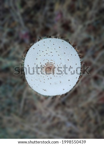 A big beautiful MUSHROOM growing on the roadside Toadstool is the conspicuous umbrella shaped edible fruiting body  (sporophore) of certain fungi Mushrooms are rich in the B vitamins