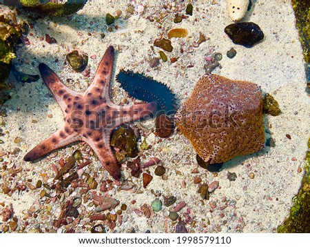 Starfish or sea stars are star-shaped echinoderms belonging to the class Asteroidea. Starfish are marine invertebrates and also known as Asteroids. Selective focus, top view Royalty-Free Stock Photo #1998579110