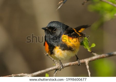 Warblers migrate from south America to US during spring and back in fall. These are some pictures of migrating birds especially warblers