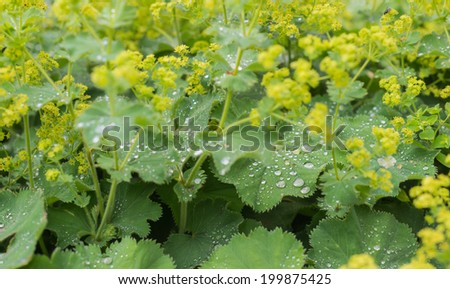 Bright yellow budding and blooming Lady's Mantle or Alchemilla mollis plants with silver water droplets on the velvety leaves. #199875425
