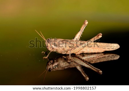Close up picture of a grasshopper on glass reflection.