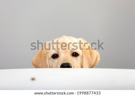 Portrait of labrador puppy peeking muzzle under white table on gray background with copy space. Curious puppy or dog or game of hide and seek with pet. Watching, seeing or know secrets. Royalty-Free Stock Photo #1998877433