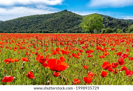 Poppy field on a sunny summer day. Red poppies flowers field. Red poppy field. Summer poppy field