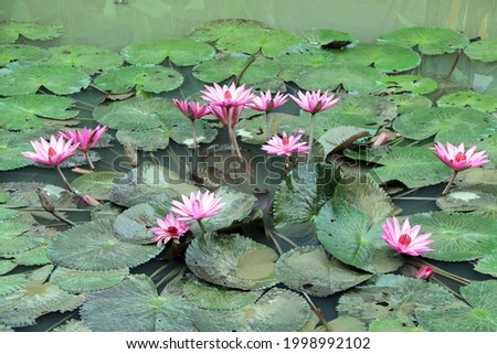 Lotus - Picture of lotus in a pool outside of hotel in Chiangrai Province, Thailand.
