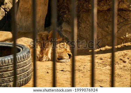 The lion is behind bars. A wild predator hunter rests and sleeps in the darkness of the zoo. High quality photo