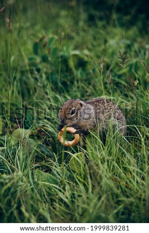 Field gopher holds a bagel in its paws
