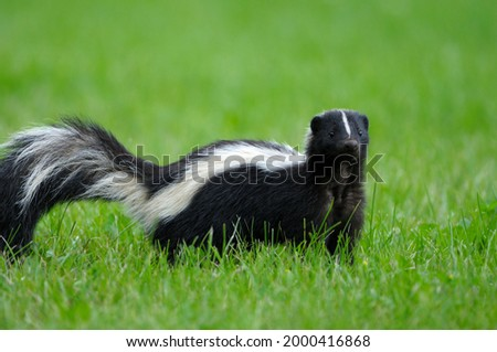 A mammal and a member of the weasel family, known for their ability to spray a liquid with a strong, unpleasant smell.