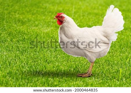 Beautiful brown hen standing, H10N3 avian influenza concept Royalty-Free Stock Photo #2000464835