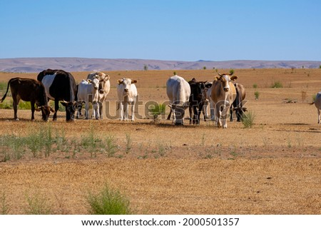 Cows graze on dry grass. A herd of cows in an arid climate. Royalty-Free Stock Photo #2000501357