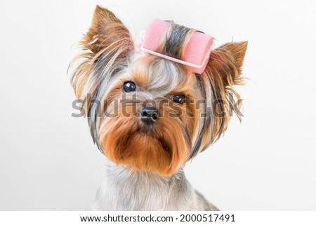 Funny photo of a Yorkshire terrier dog with curlers on its fur.