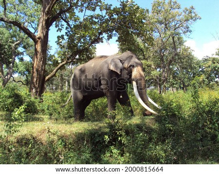 A Majestic Tusker in the forests of Bandipur, India Royalty-Free Stock Photo #2000815664