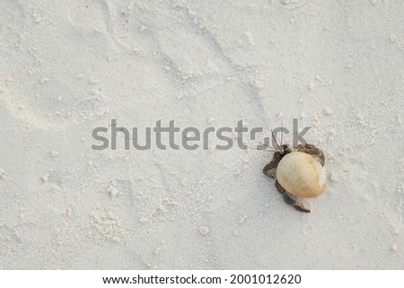 a top view, flat lay shot of a walking hermit crab on the white sandy beach with sand texture's copyspace Royalty-Free Stock Photo #2001012620