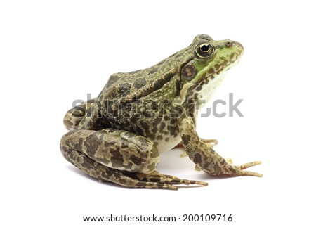 green lake frog on white background  #200109716