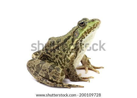 green spotted marsh frog on white background  #200109728