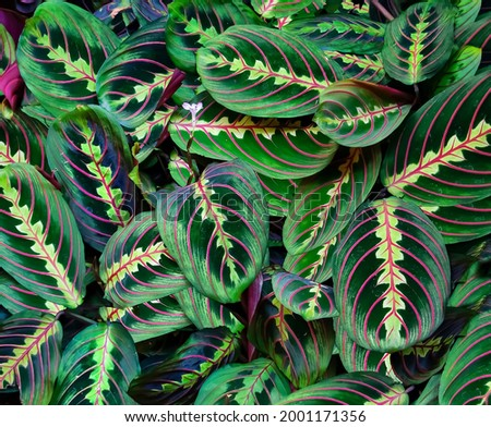 Prayer plant: a species of Prayer plant, also known as Ten commandments, Rabbit's foot, Banded arrowroot, its botanical name is Maranta leuconeura. Royalty-Free Stock Photo #2001171356