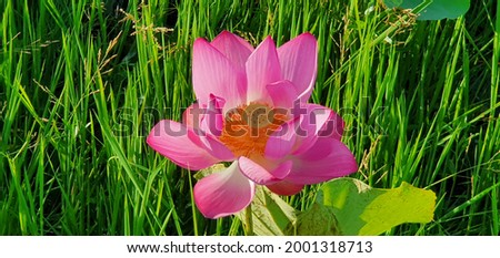 Lotus flowers. Lotus flower pond. Parks and Outdoors picture.