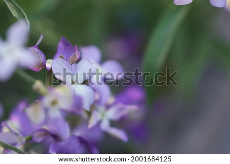 Night scented stock flower in bloom in the evening summer garden, close up floral pastel pink background