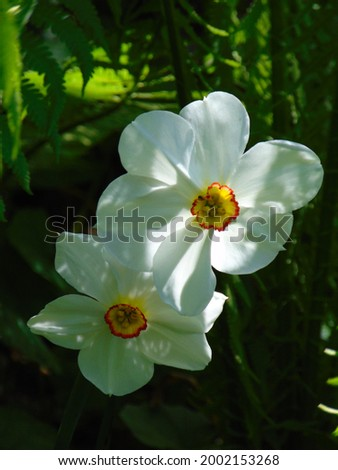 macro photo with a decorative background of white flowers of a herbaceous plant of daffodils during the spring flowering of the dls of garden landscape design as a source for prints, posters, decor