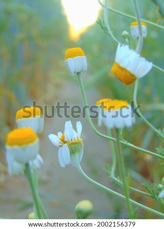 macro photo with a decorative background of white flowers of a herbaceous plant of field daisies in a rural grain field in a European country for design as a source for prints, posters, decor