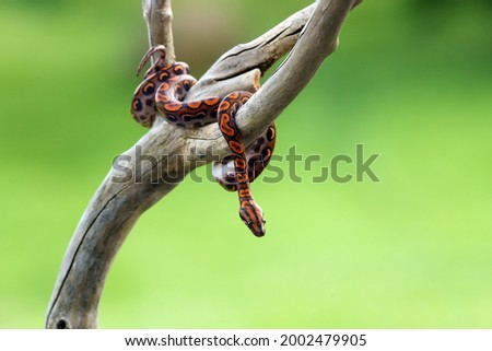 Brazilian rainbow boa (Epicrates cenchria cenchria) or common names include the rainbow or the slender boa. Young snake on a dry branch with a green background. Royalty-Free Stock Photo #2002479905