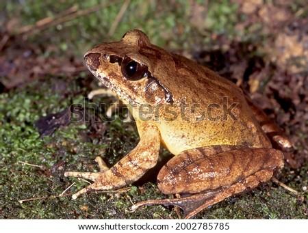 Endangered Australian Stuttering Frog on mossy ground Royalty-Free Stock Photo #2002785785