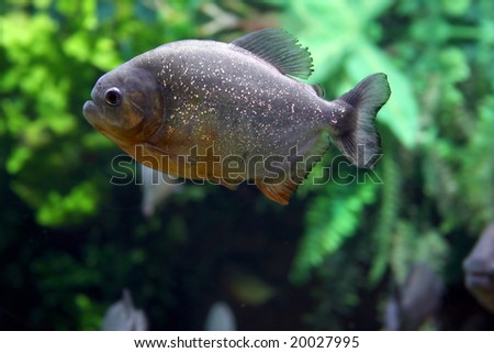 Dangerous fish. Piranha