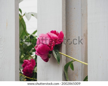 Pink peonies in raindrops behind a white wooden fence. Flower garden of peonies in the summer garden. Bright beautiful floral natural background or screensaver.