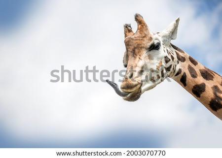 Giraffe gets her tongue out. Ruminant animal. Royalty-Free Stock Photo #2003070770