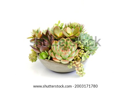 Colorful succulent plants collection bouquet arrangement in ceramic bowl white background Royalty-Free Stock Photo #2003171780