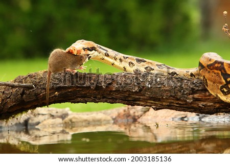 The boa constrictor (Boa constrictor), also called the red-tailed boa or the common boa, hunting the rat on the old branche above the water. Green background. Open mouth  Royalty-Free Stock Photo #2003185136